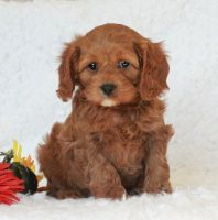 Cavapoo Puppies for sale in St. Louis, MO, USA. price: NA