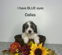Cavapoo Puppies for sale in Sturgis, MI 49091, USA. price: NA