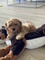 Cavapoo Puppies for sale in Sarasota, FL, USA. price: NA