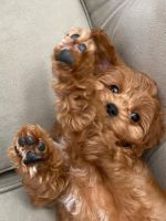 Cavapoo Puppies for sale in Orange County, CA, USA. price: NA
