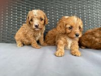 Cavapoo Puppies for sale in New York, NY, USA. price: NA