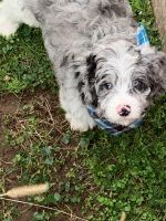Cavapoo Puppies for sale in NJ-41, Deptford Township, NJ, USA. price: NA