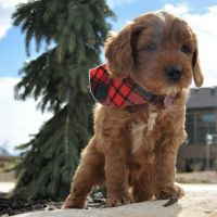Cavapoo Puppies for sale in Los Gatos, CA, USA. price: NA
