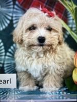 Cavapoo Puppies for sale in 4959 Key Lime Dr, Jacksonville, FL 32256, USA. price: NA