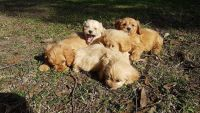 Cavapoo Puppies for sale in Orlando, FL, USA. price: NA