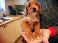 Cavapoo Puppies for sale in Fort Lauderdale, FL, USA. price: NA