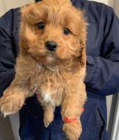 Cavapoo Puppies for sale in Salt Lake City, UT, USA. price: NA