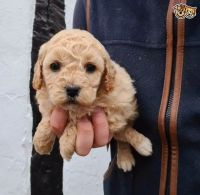 Cavapoo Puppies for sale in 2364 McCulloh St, Baltimore, MD 21217, USA. price: NA