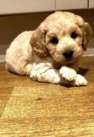 Cavapoo Puppies for sale in Alexandria, VA, USA. price: NA