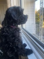 Cavapoo Puppies for sale in Babylon, NY, USA. price: NA
