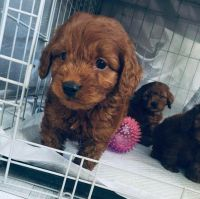 Cavapoo Puppies for sale in San Angelo, TX, USA. price: NA