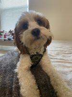Cavapoo Puppies for sale in Bloomingdale, NJ 07403, USA. price: NA