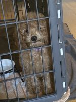 Cavapoo Puppies for sale in West Roxbury, Boston, MA, USA. price: NA