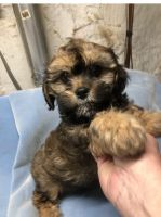 Cavapoo Puppies for sale in Greenfield, WI, USA. price: NA