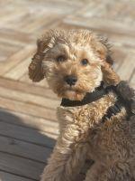 Cavapoo Puppies for sale in Newark, NJ, USA. price: NA