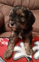 Cavapoo Puppies for sale in Columbus, GA, USA. price: NA