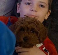 Cavapoo Puppies for sale in Irvington, NJ 07111, USA. price: NA