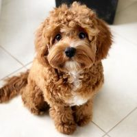 Cavapoo Puppies for sale in 3741 Adobe Dr, Palmdale, CA 93550, USA. price: NA