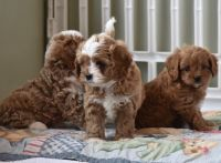 Cavapoo Puppies for sale in San Jose, CA, USA. price: NA