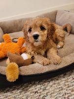 Cavapoo Puppies for sale in Madison, WI 53717, USA. price: NA