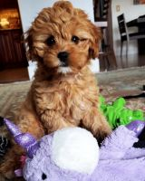 Cavapoo Puppies for sale in 5634 Kingsessing Ave, Philadelphia, PA 19143, USA. price: NA