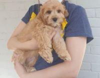 Cavapoo Puppies for sale in Shrewsbury, MA, USA. price: NA