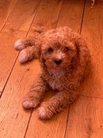 Cavapoo Puppies for sale in Washington, DC, USA. price: NA