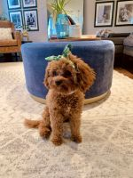 Cavapoo Puppies for sale in Annapolis, MD, USA. price: NA