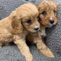 Cavapoo Puppies for sale in Kansas City, KS, USA. price: NA