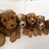 Cavapoo Puppies for sale in California City, CA, USA. price: NA