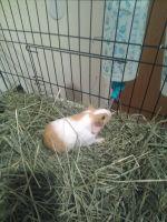 Cavy Rodents Photos