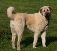 central anatolian shepherd dog