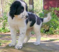Central Asian Shepherd Puppies for sale in Houston, TX, USA. price: NA