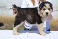 Central Asian Shepherd Puppies for sale in St. Louis, MO, USA. price: NA