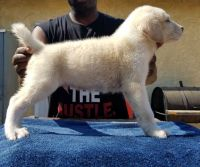 Central Asian Shepherd Puppies for sale in Los Angeles, CA, USA. price: NA