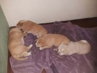 Central Asian Shepherd Puppies for sale in Seattle, WA, USA. price: NA