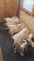 Central Asian Shepherd Puppies for sale in Cincinnati, OH, USA. price: NA