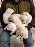Central Asian Shepherd Puppies Photos