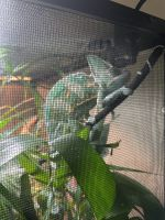 Chameleon Reptiles for sale in Aurora, CO, USA. price: NA
