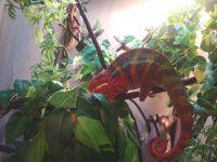 Chameleon Reptiles for sale in Bay City, MI, USA. price: NA