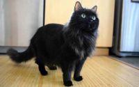 chantilly tiffany cat