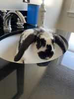 Checkered Giant Rabbits for sale in Mt Vernon, NY, USA. price: NA