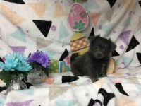 Chiapom Puppies for sale in Homestead, FL, USA. price: NA