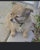 Chiapom Puppies for sale in Missoula, MT, USA. price: NA