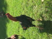 Chicken Birds for sale in Newport, MN 55055, USA. price: NA