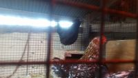 Chicken Birds for sale in Lewistown, OH 43333, USA. price: NA