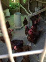Chicken Birds Photos