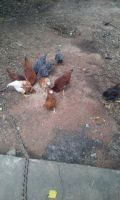 Chicken Birds for sale in Lithonia, GA 30058, USA. price: NA
