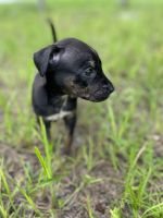 Chihuahua Puppies for sale in Kissimmee, FL, USA. price: NA