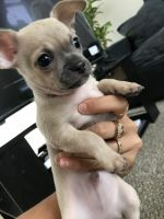 Chihuahua Puppies for sale in Columbia, SC, USA. price: NA